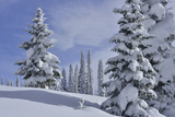 Snow Covered Evergreen Trees Near Steamboat Springs
