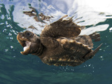 A Baby Loggerhead Sea Turtle, Caretta Caretta, Swimming at the Surface Papier Photo par Jim Abernethy