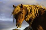 Portrait of An Icelandic Pony in Warm Sunlight Papier Photo par Jonathan Irish