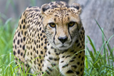 Portrait of a Female Cheetah, Acinonyx Jubatus Papier Photo par Karine Aigner