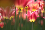 Low Perspective View in a Field of Yellow and Magenta Tulip
