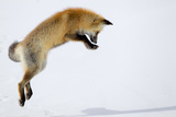 A Red Fox  Vulpes Vulpes  Pouncing for Prey Burrowed Under the Snow