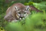 Portrait of a Male Cougar, Felis Concolor, Stalking Papier Photo par Karine Aigner