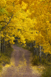 A Dirt Road Through a Grove of Aspen Trees with Golden Autumn Foliage