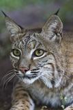 Portrait of a Bobcat  Lynx Rufus