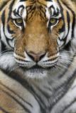 Portrait of a Male Bengal Tiger, Panthera Tigris Tigris Papier Photo par Karine Aigner