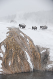 Bison Near the Firehole River in a Snowstorm