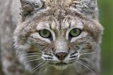 Portrait of a Female Bobcat, Lynx Rufus, Stalking Papier Photo par Karine Aigner