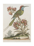 Indian Bee-eater