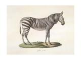 A Female Zebra