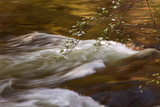 Dogwoods and Late Afternoon Light Reflected in Merced River