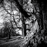 Old Royal Trees Papier Photo par Rory Garforth