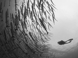 Diver And Schooling Blackfin Barracuda  Papua New Guinea
