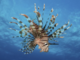 Lionfish Displays Its Poisonous Spines  Fiji