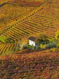 Vineyards  Nr Alba  Langhe  Piedmont (or Piemonte or Piedmonte)  Italy