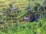 Indonesia  Bali  Ubud  Tegallalang and Ceking Rice Terraces