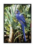 Hyacinth Macaw  1992