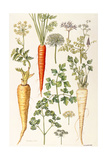 Carrot  Parsnip and Parsley