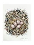 Gallinula Choepus (Moorhen)  2000
