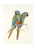 Illiger's Macaw  1987