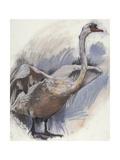 Mute Swan  2008