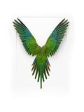 Baraband Parakeet
