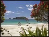 Pohutukawa Tree in Bloom and Hahei  Coromandel Peninsula  North Island  New Zealand