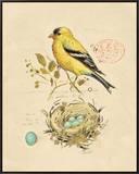 Gilded Songbird 2