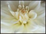 White Dahlia Close-up