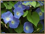 Morning Glories in Bloom in Arlington  Massachusetts  USA
