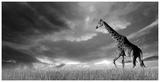 Giraffes  African Skies