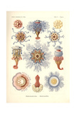 Siphonophorae - Jelly Fish  from 'Kunstformen Der Natur'  Engraved by Adolf Giltsch  Published 1904