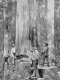 Felling a Blue-Gum Tree in Huon Forest  Tasmania  c1900  from 'Under the Southern Cross -…