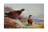 Red Grouse on the Moor  1917