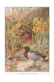 Mallard Ducks and Nest  Illustration from 'Country Days and Country Ways'