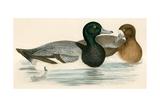 Scaup Duck