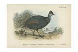 Black-Collared Crested Guinea-Fowl