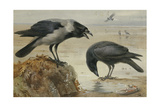 A Hooded Crow and a Carrion Crow  1924