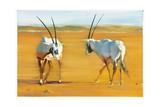 Circling Arabian Oryx  2010