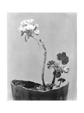 Geranium  Mexico City  c1924