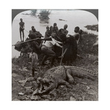 Huge Crocodile Just Landed - Beside the Upper Nile  East Africa  c1905
