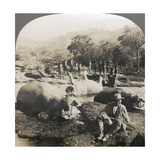 Result of a Morning's Hippopotamus Hunt on Mlembo River  Rhodesia  Africa  1910