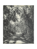 Road Near Colombo  Ceylon  February 1912