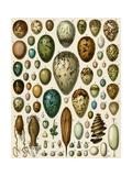 Eggs of Some Birds and Turtles, and Seed Cases of Bryophites and Some Other Plants Giclée