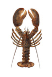 American Lobster, From a Specimen in Eastport, Maine, 1880s Papier Photo