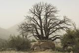 Stark Branches of a Dead Juniper in the Organ Mountains  Southern New Mexico