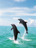 Bottlenose Dolphins Spinning in Water Papier Photo par Green Light Collection
