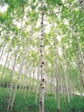 Aspen Trees  View From Below