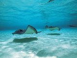 Southern Stingrays in Sea Water Papier Photo