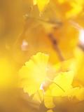 Yellow Leaves, Autumn, Backlit Papier Photo par Green Light Collection